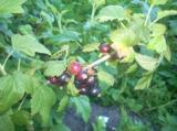 ягода,_ягоды,_чер