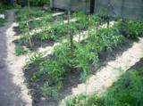 помидоры,_томаты