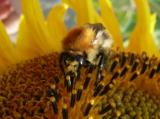лето,_пчела,_подс