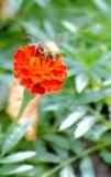 пчела,_цветок,_пе