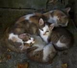 кошка,_котята,_мо