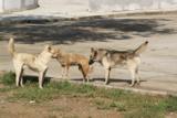 собаки,_бродячие
